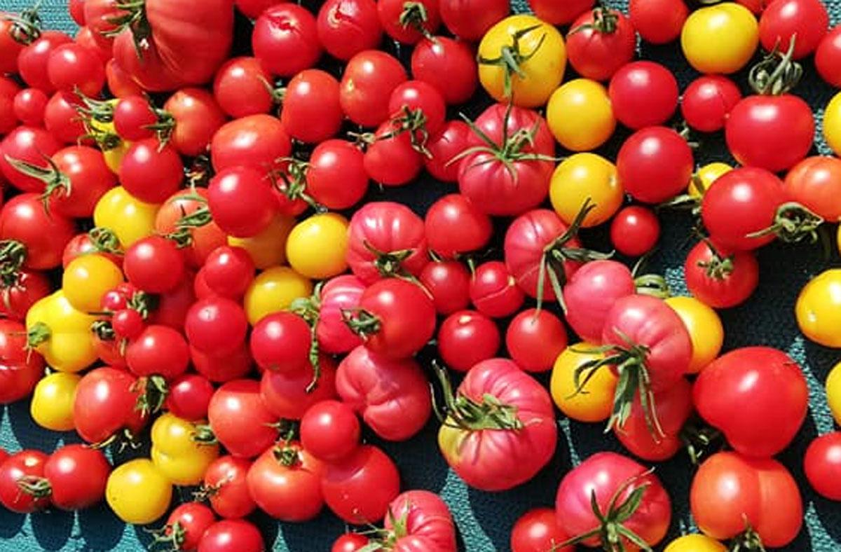 Rote und gelbe Tomaten frisch geerntet