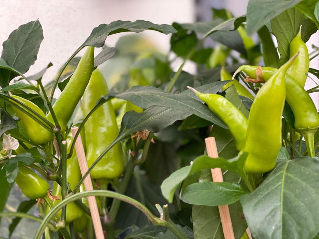 Warum ist Chili scharf