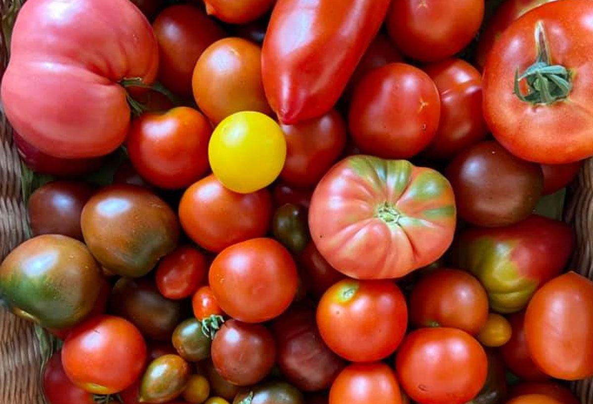 Wie viele verschiedene Tomatensorten gibt es auf der Welt?